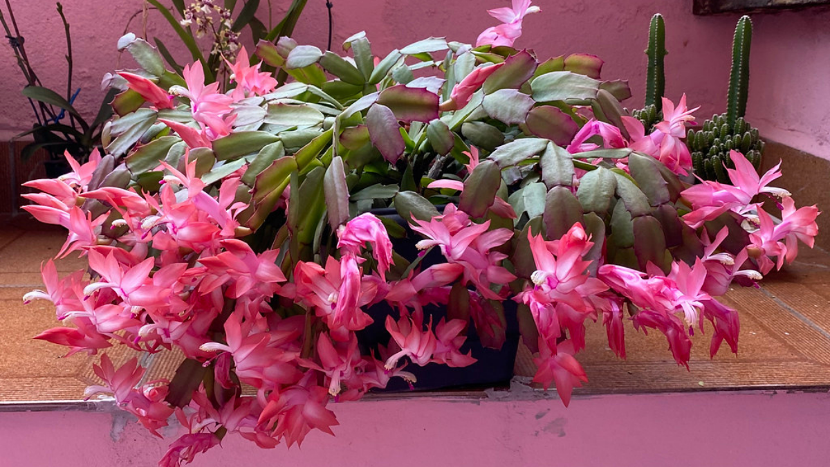 Some beautiful Christmas cactus are kept on the balcony area.
