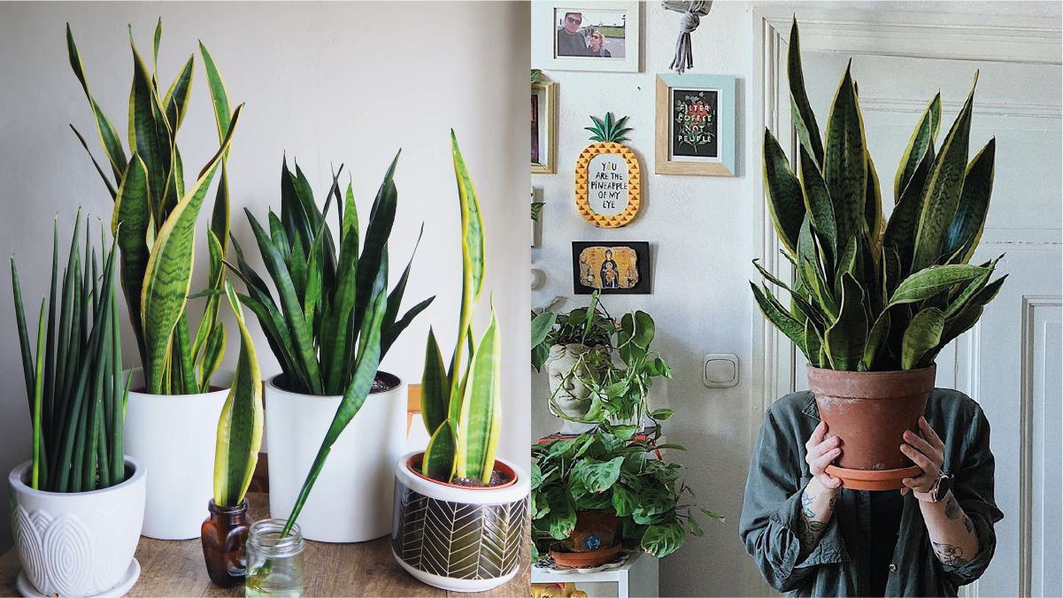 on left: different snake plants arranged in a room. On the right: a guy covering his face with a huge snake plant.