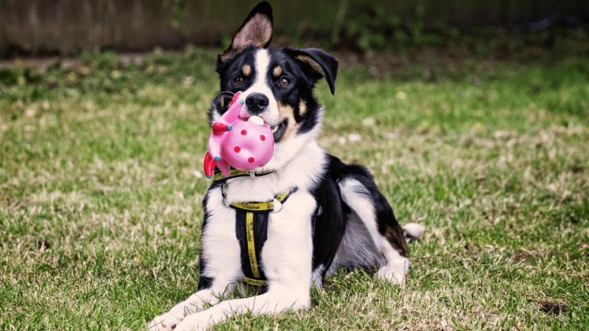 A dog chewing scented toy.